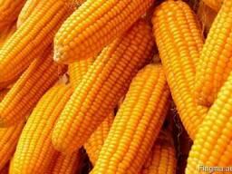 Кукуруза , соя пшеница ,