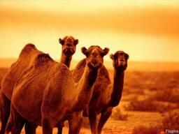 Сухое цельное верблюжье молоко
