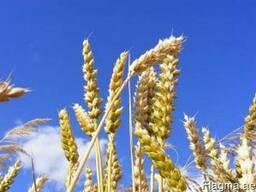 Ukrainian wheat 3 class Corn Grade Export