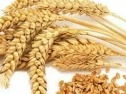 Wheat пшеница