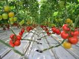 Fresh Tomatoes, Type El Bandito from Turkmenistan - фото 2