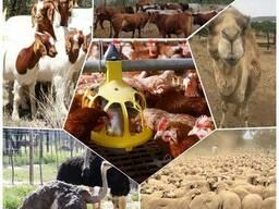 Livestock and ostrich chicks