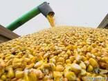 Продам кукурузу фуражную - фото 1