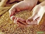 Wheat, Corn, Barleyبيع القمح والشعير والذرة للتصدير - photo 1