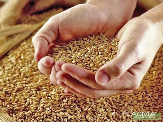 Wheat, Corn, Barleyبيع القمح والشعير والذرة للتصدير