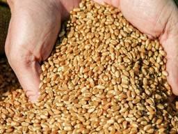 Wheat, barley